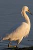 IMG_2465 (armadil) Tags: mavericks beach beaches californiabeaches bird birds egret snowyegret lowtide highlights