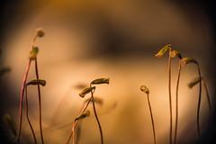 P1010183-1 (A 51) Tags: macro nature outdoors lumix spores fungi moss