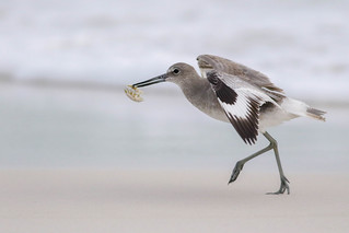 Dropping in for Dinner (Willet)
