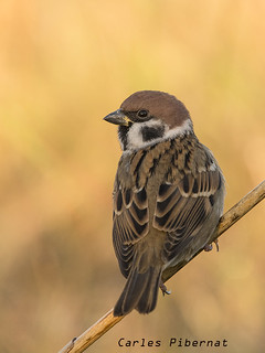 Pardal xarrec , Gorrión molinero, Tree Sparrow (Passer montanus)