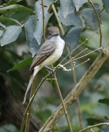 Short-crested Flycatcher_17-09-17_Myiarchus ferox