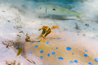 Blue-spotted Ribbontail Stingray hunting - Taeniura lymma