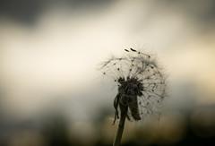 fading (Danyel B. Photography) Tags: dandelion blow ball flower nature natur fly away fading semen bokeh macro makro close autumn