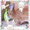 ICHIGO san 77 (Ichigo Miyama) Tags: いちごさん。うさぎ ichigo san rabbitbunny netherlanddwarf brown ネザーランドドワーフ ペット いちご うさぎrabbit うさぎ