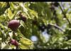 Juicy plums (umasha79) Tags: ziarat plums apples juniper balochistan quetta