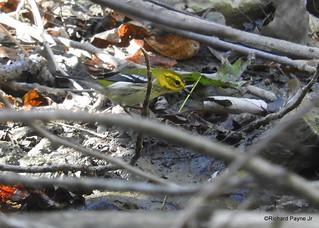 Black-throated Green Warbler_N7039