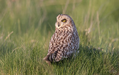 Short Eared Owl (cogs2011) Tags: owl canon sigma 150600c nature wildlife