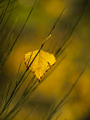 Feuille d'automne **---+--° (Titole) Tags: leaf branch titole nicolefaton yellow challengeyouwinner 15challengeswinner thechallengefactory