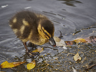 Late Duckling...