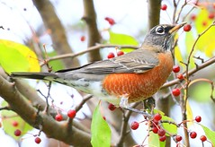 American robin eating crabapples at Lake Meyer Park IA 854A7903 (lreis_naturalist) Tags: american robin eating crabapples lake meyer park winneshiek county iowa larry reis