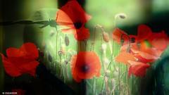 When soldiers sleep (marytevanagiene) Tags: soldiers poppies sky world sleep red war