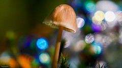 Champignon -(3818) (YᗩSᗰIᘉᗴ HᗴᘉS +8 500 000 thx❀) Tags: champignon macro 7dwf mushroom fungus bokeh bokehlicious beyondbokeh color hensyasmine