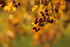 Mio. (SimonaPolp) Tags: gold berries wild food sunset october fall foliage nature bokeh rural countryside