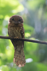 Gould's Frogmouth (MEphotog) Tags: goulds frogmouth wild malaysia launching deer land nocturnal