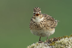 Sky Lark Alauda arvensis (janmangorfagerland) Tags: animal alauda arvensis ådland fagerland nature jan natur mangor landscape karmøy janfagerland gallery fauna natural birds bird birdphoto birdsgallery bokeh birding birdsofnorway birdswildlifenaturenikon300mmvrii2 coast d800e dephtoffield depth distinguishedbirds vidde exposure evening field fugler flickr fuglebilder g green grass islands nikon wildlife nikkor light myr norge norway outdoor ornithology portrait songbird colours photography photo planet supertele vr vann brown sanglerke lark lerke sky grey white