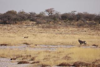 Cheetah Strolling...Oryx Watching Etosha National Park Namibia Africa