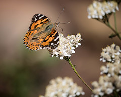 Painted Lady (droy0521) Tags: seasons roxboroughstatepark flowersplants wildlife paintedlady butterfly flower migration colorado outdoors events insect fall places macro littleton unitedstates us