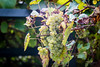 Autumn 2017 (Tbui15) Tags: weintrauben herbst münster autumn grapes