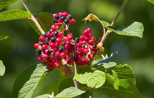 Viburnum lantana, Viorne lantane fruits_21