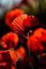 Passion Touches (NathalieSt) Tags: 003nature camargue coquelicot europe fleur france gard languedocroussillon coquelicots fleurs flower flowers nature nikon nikond750 nikonpassion nikonphotography pavotpoppy poppies poppy printemps spring