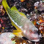 Halfspotted Hawkfish - Paracirrhites hemistictus thumbnail