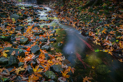 Fallen colors (Sean X. Liu) Tags: autumn colorful water creek trail northyork toronto ontario canada fallcolors nature longexposure