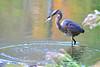 SUSHI FOR BREAKFAST (Bill Vrtar Photo) Tags: millcreekpark lilypond boardman ohio vrtarsmugmugcom heron blueheron
