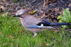 Thoughts For Food (Alfred Grupstra) Tags: bird nature wildlife animal beak feather outdoors animalsinthewild birdwatching closeup oneanimal greencolor forest small branch eating blue passerinebird jay