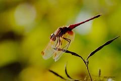 lumière d'automne (jpto_55) Tags: odonate insecte libellule automne bokeh xe1 fuji fujifilm fujixf55200mmf3548rlmois hautegaronne france macro