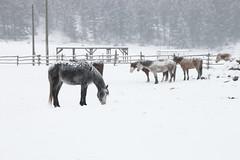 Big Bar Ranch 2016 (Thomas Rousselot) Tags: horse horses bigbarranch explorebc winter snow neige chevaux cheval hiver
