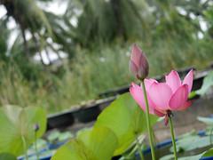 Sacred Lotus 'Chinese Red Xibeipo' Wahgarden Klong15 006 (Klong15 Waterlily) Tags: chinared lotus lotusflower flower sacredlotus thailotus nelumbo nelumbonucifera pond