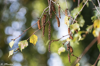 The autumn of the birch. El otoño del abedul