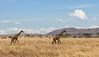 Savannah Cruisers (AnyMotion) Tags: giraffe giraffacamelopardalis savannah savanna savanne clouds wolken landscape landschaft 2006 anymotion serengetinationalpark tanzania tansania africa afrika travel reisen animal animals tiere nature natur wildlife 20d canoneos20d panorama landschaftsaufnahmen ngc npc