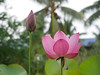 Sacred Lotus 'Chinese Red Xibeipo' Wahgarden Klong15 010 (Klong15 Waterlily) Tags: chinared lotus lotusflower flower sacredlotus thailotus nelumbo nelumbonucifera pond