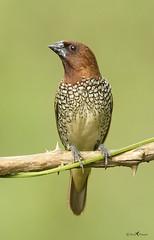 Scaly-breasted munia (arunprasad.shots) Tags: ngc explore avian birding india birdsofindia indianbirds munia bangalore nikon d500 nikond500 nikon200500 wild wildlife perch green brown bokeh scalybreastedmunia