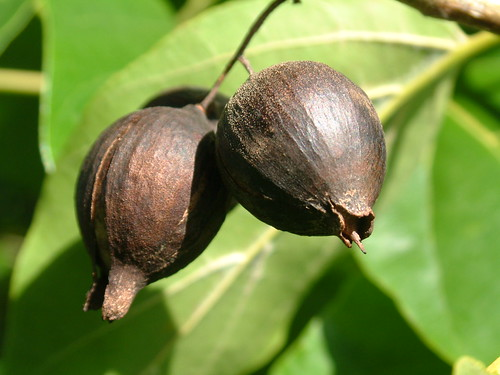 Cordia subcordata fruit
