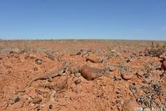 Gibber Dragon (Ctenophorus gibba) (shaneblackfnq) Tags: gibber dragon ctenophorus gibba shaneblack lizard reptile agamid coober pedy south australia moon plain outback