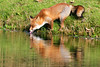 a thirsty fox (jan_vrouwe) Tags: fox teeth tooth tongue eye skin thirsty drinking channel cane tail