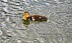 1 little duckling (donjuanmon) Tags: donjuanmon nikon nature duck swim duckling cliches clichesaturday hcs muscovy