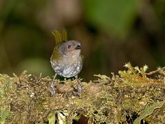 ES8_3951 (Eerika Schulz) Tags: mindo ecuador vogel bird flycatcher eerika schulz