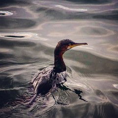 Cormorant!!!! (robert_atsix) Tags: cormorant seabird bird coast northernireland conservation nature sea marine canon750d canon wildlifephotography bangor