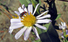 Flower beetle on Pacific aster (TJ Gehling) Tags: insect coleoptera beetle melyridae flowerbeetle softwingflowerbeetle plant flower asterales asteraceae aster pacificaster symphyotrichum symphyotrichumchilense asterchilense canyontrailpark elcerrito