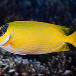 Masked Rabbitfish - Siganus puellus thumbnail