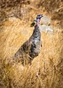 Turkey in the Straw Sunol Park (Charlie Day DaytimeStudios) Tags: california eastbayregionalparks goldgrass goldengrass straw sunolregionalpark wildturkey
