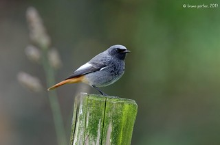 Black Redstart, Rougequeue noir (Phoenicurus ochruros)
