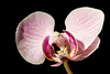 _O5A4416_1080h (cls-70) Tags: blomma flower monster orkide orchid phalaenopsis