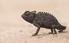 Namaqua chameleon (Peter Warne-Epping Forest) Tags: chameleon namaqua swakopmund namibia africa reptile desert dunes