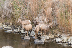 Bighorn Sheep lambs and ewes cross the river