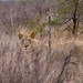 Swaziland - Lion scouts out the humans (Hlane National Park)