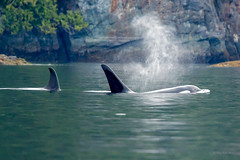 Orcas Galore (Warp Factor) Tags: alertbay canont4i humpback orcas summer2017 whales sealife vacation wilderness wildlife killerwhale tamron150600mm